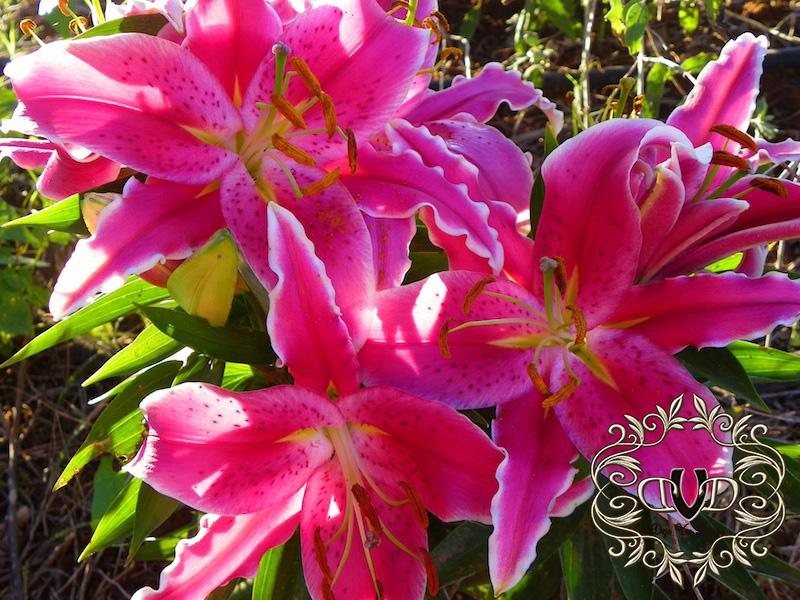 stargazer lilies copy