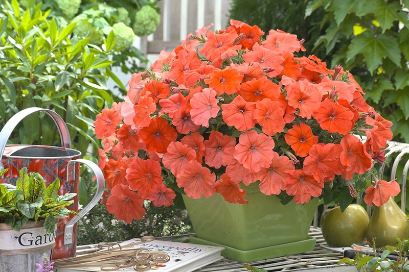 African Sunset Petunia, photo courtesy of the National Garden Bureau