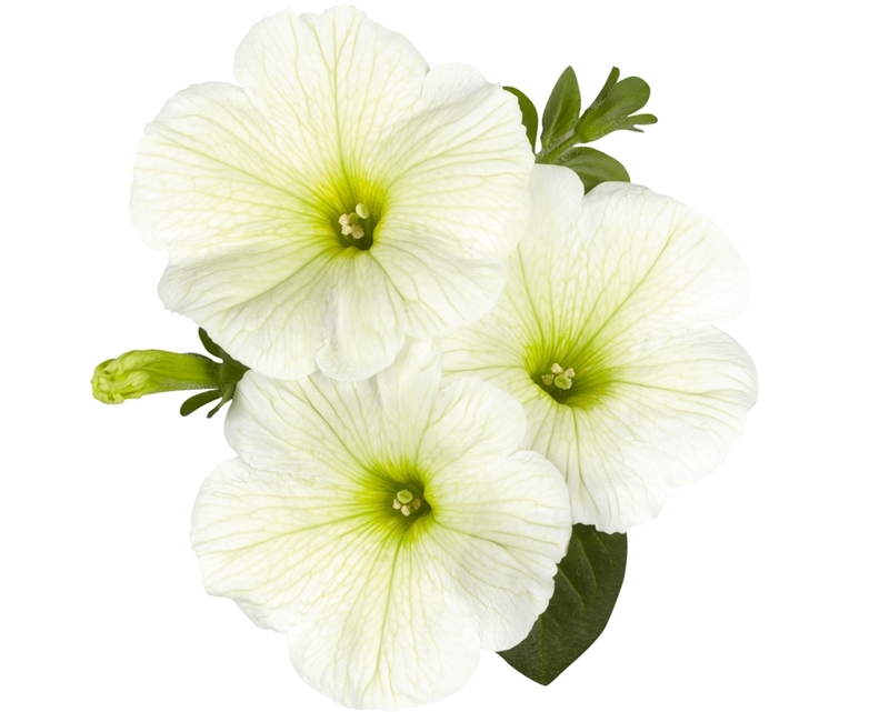 Surprise Lime Petunia, photo courtesy of the National Garden Bureau