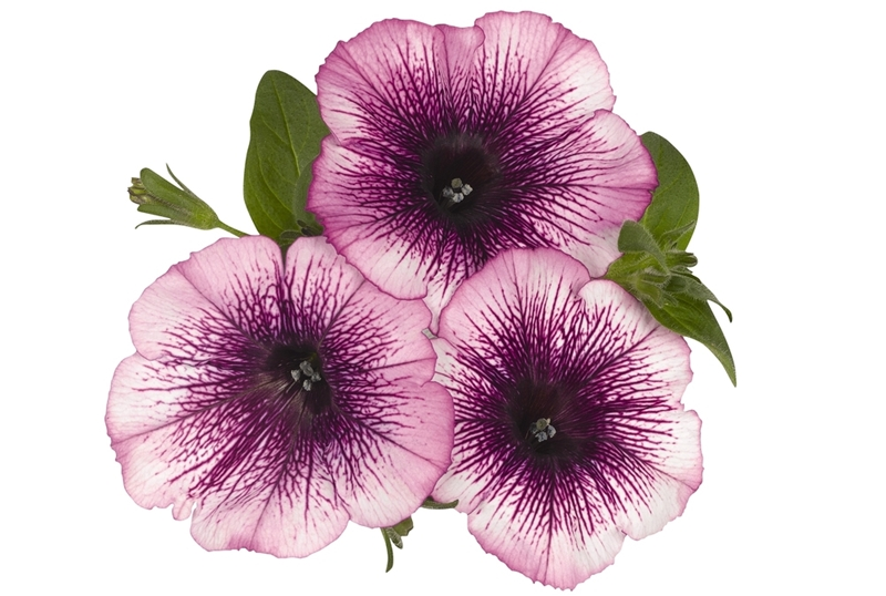 Sweetunia Grape Ice Petunia, photo courtesy of the National Garden Bureau