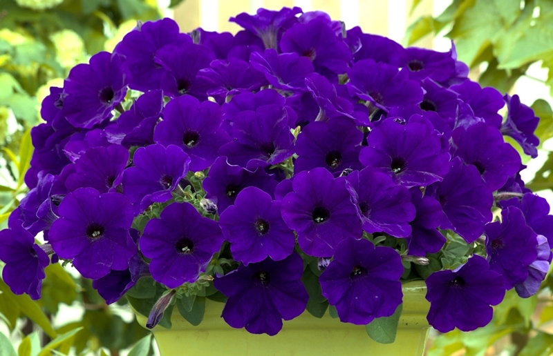 Trilogy Blue Petunia, photo courtesy of the National Garden Bureau