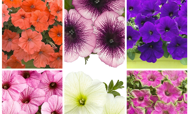 Petunias: 6 unique varieties to plant in your garden!
