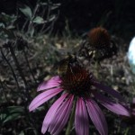 Purple coneflower with bumble bee