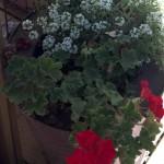 red geraniums, white allisum, rusty bucket for a flowerpot